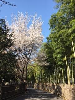 竹の径桜2.JPG