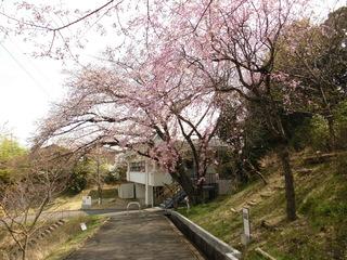 3.26桜.JPG