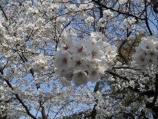 3.27桜.JPG