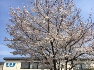 3.27桜�A.jpeg
