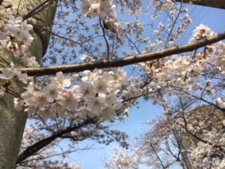 3.27桜�B.jpeg