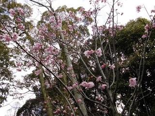 桜状況.JPG