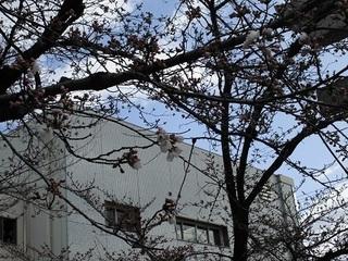 桜状況2.JPG
