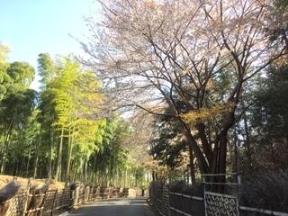 竹の径桜.JPG