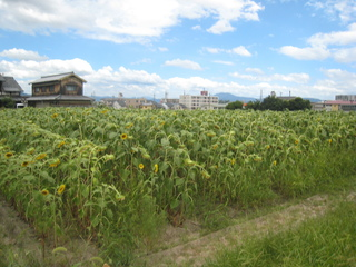 News of the end of the sunflower field